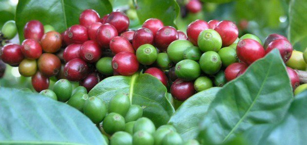 Скидка 40% на Кофейное дерево и домашнюю Кариссу
